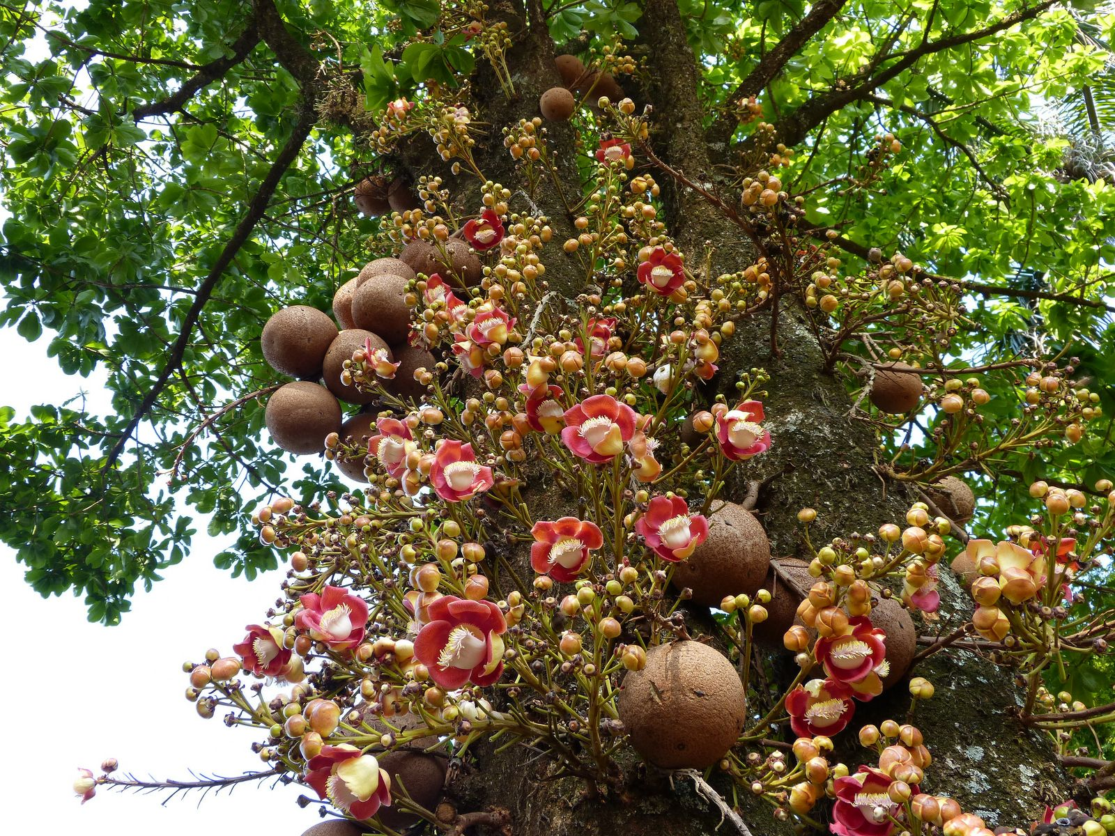 Cannonball Tree Abric De Macaco - Flickr  Photo Sharing