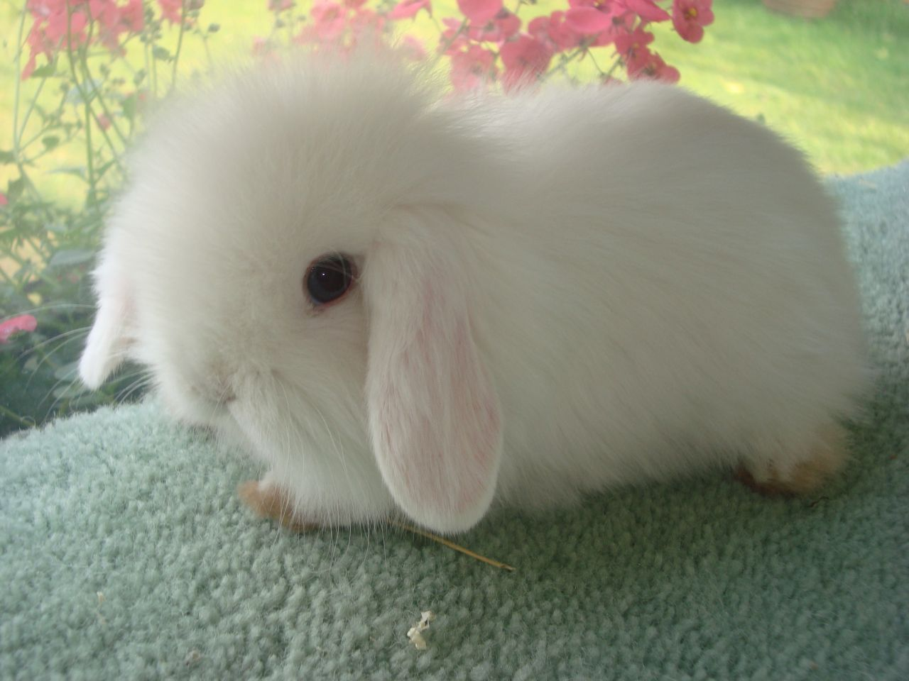Cute animals for sale - Lion Lop Bunnies For Sale Female Baby Bunny 35 Posted 1