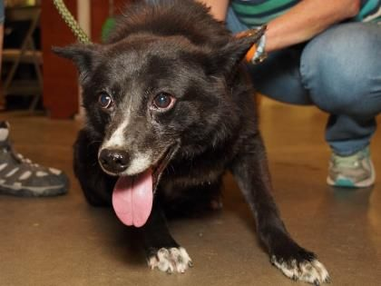 Adopt Colt A Lovely 7 Years Dog Available For Adoption At Petango Com Colt Is A Border Collie Mix And Is Available At The Nation Adopt A Rescue Rescu