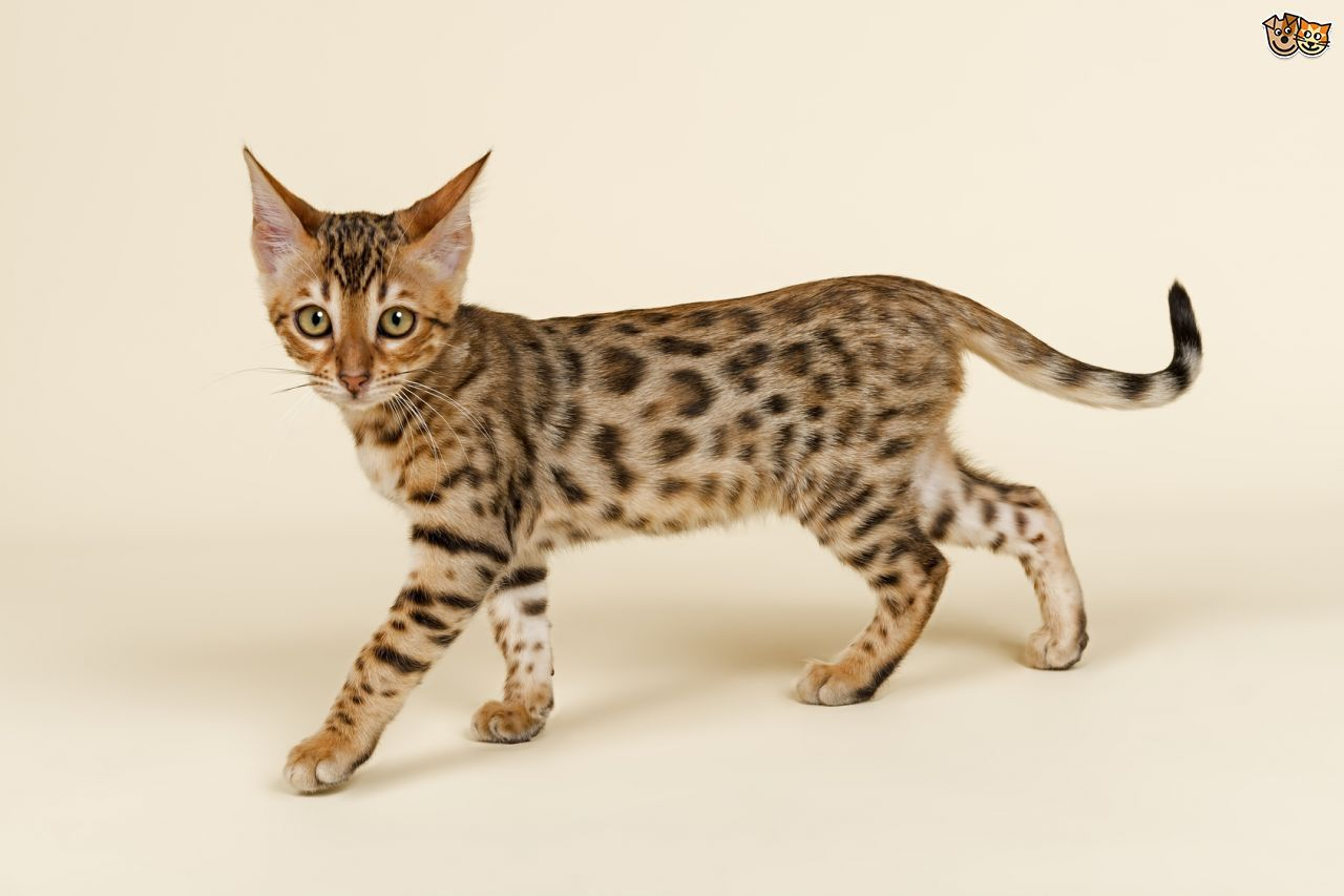 Amazingly Beautiful Cat Breeds in the World