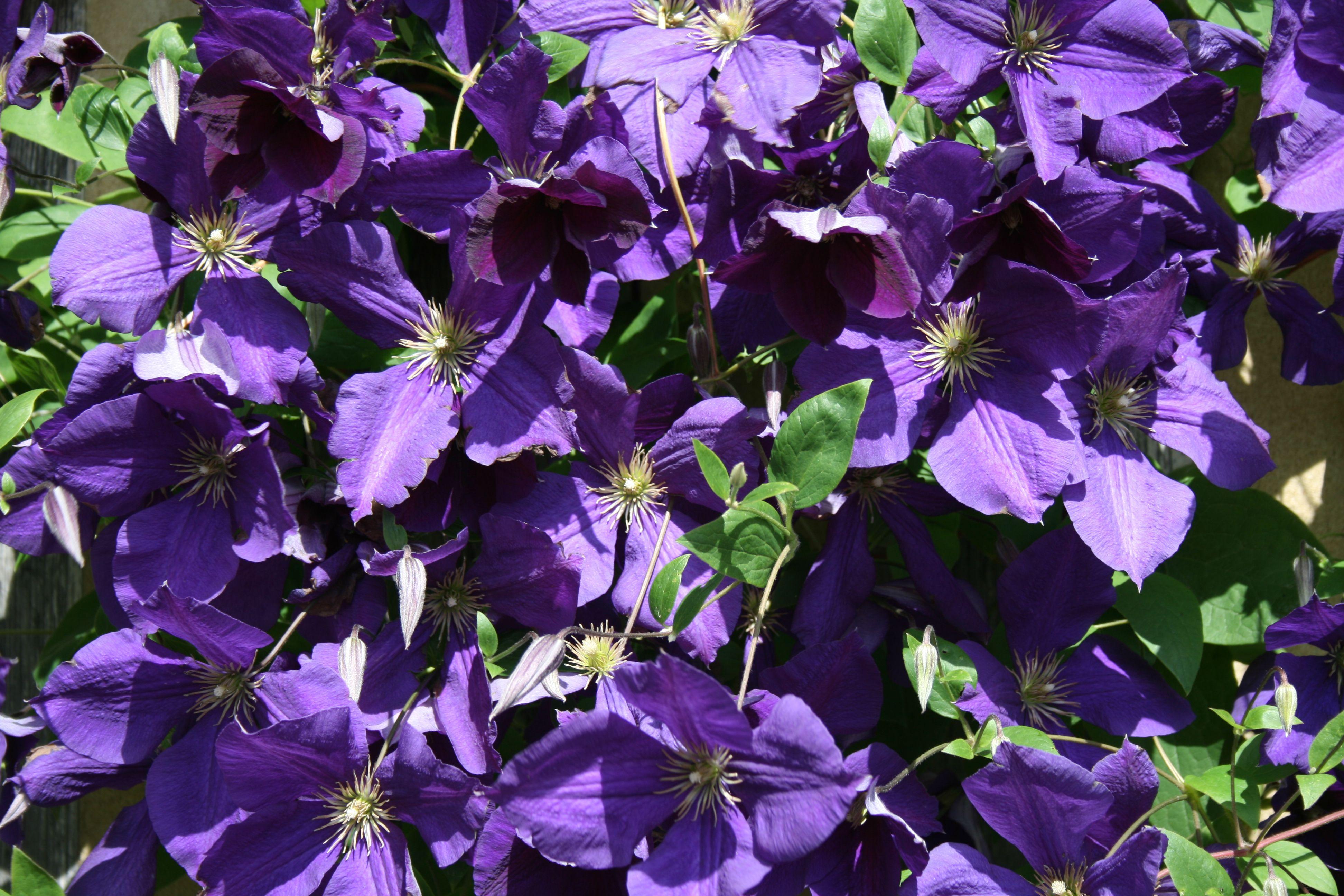 Clematis flowering at smallhythe place tenterden kent national