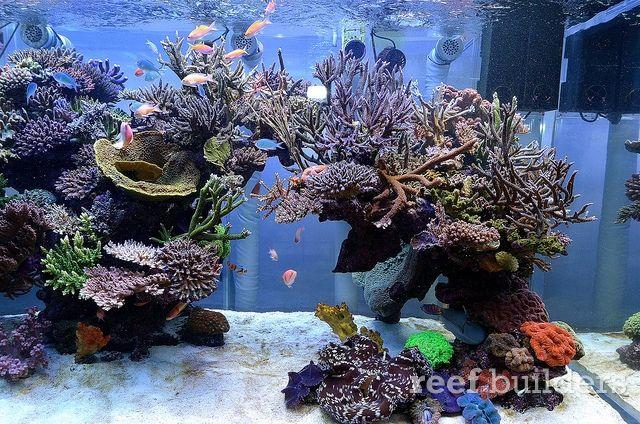 Tales From Thailand Chingchai S Incredible Dsps Tank Saltwater Fish Tanks Saltwater Aquarium Coral Reef Aquarium