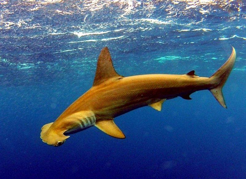 sharks golden