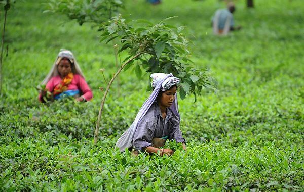76b570714c76b51e24baeb07e803c1a8 - Use Of Tea Leaves In Gardening