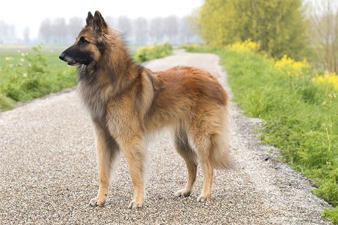 Belgian Tervuren Dog Breed Information Pictures Characteristics