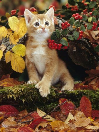 Ginger Kitten Among Autumn Leaves and Cotoneaster Berries, Note, Kitten Has Extra Toe (Polydactyl)