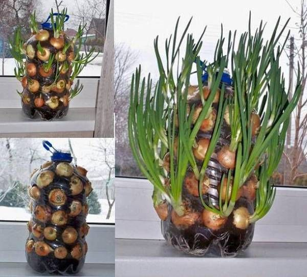 How to Grow Onions Vertically On The Windowsill  I wonder if this would work with bulbs???