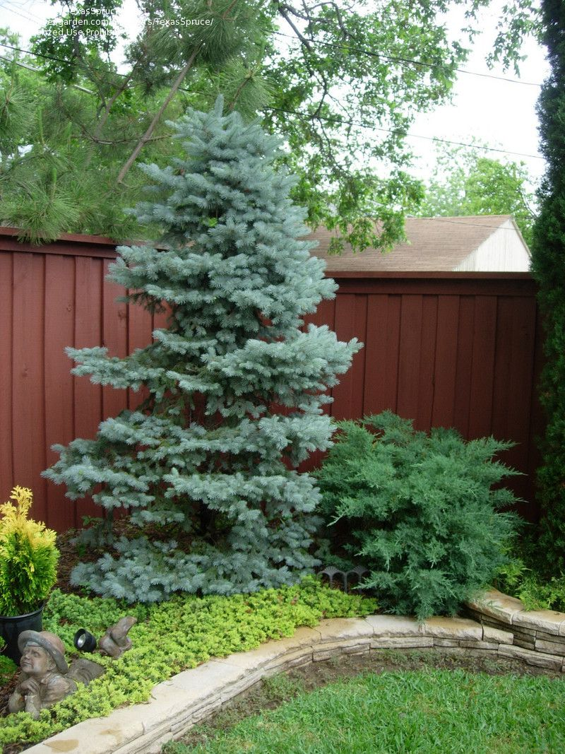 Ornamental evergreen trees - Picea Pungens Baby Blue Eyes In The Driveway Circle Garden Perfect Dwarf Blue