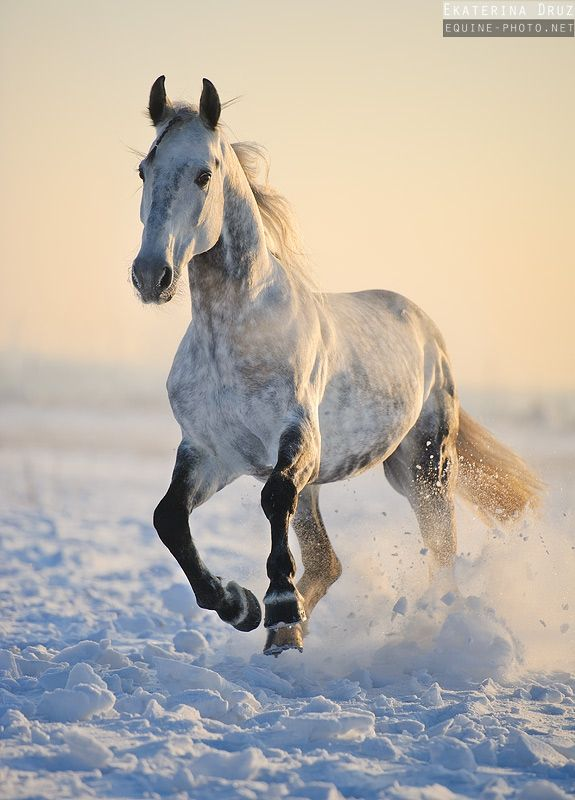 dapple gray horse running in the snow equine photography