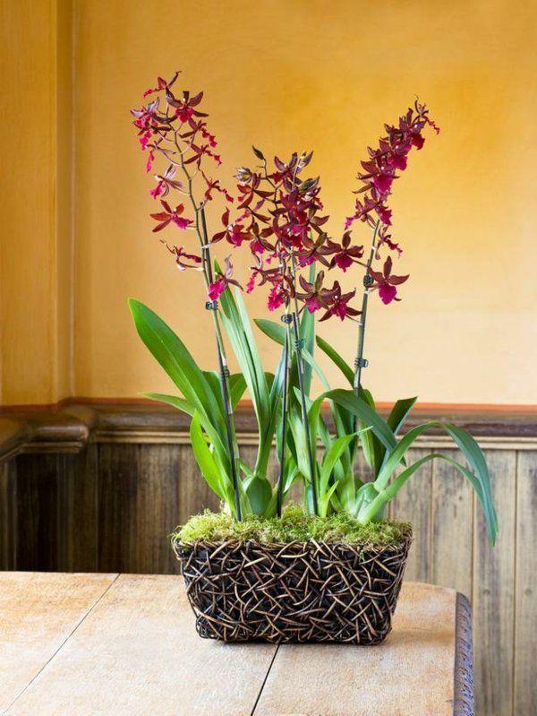 Colmanara Massai Orchidee Rote Farbe Zimmerpflanzen Pflege Tipps ... Blumen Tipps Pflege Von Zimmerpflanzen