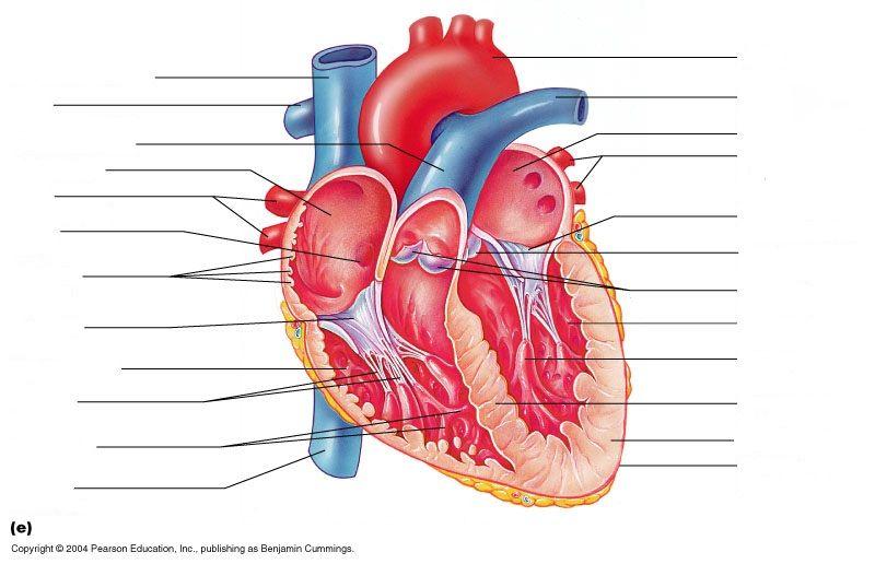 Heart Anatomy Worksheet - Synhoff