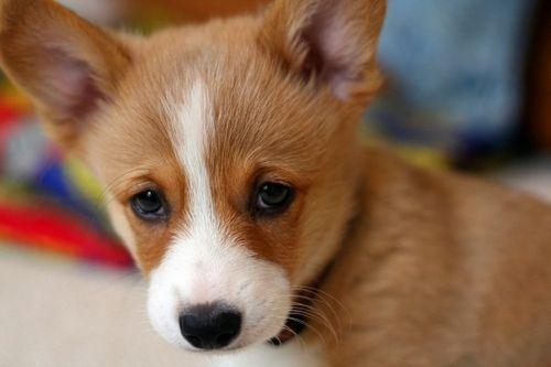 Wahhh Give It To Mee Corgi Welsh Corgi Puppies Puppy Eyes