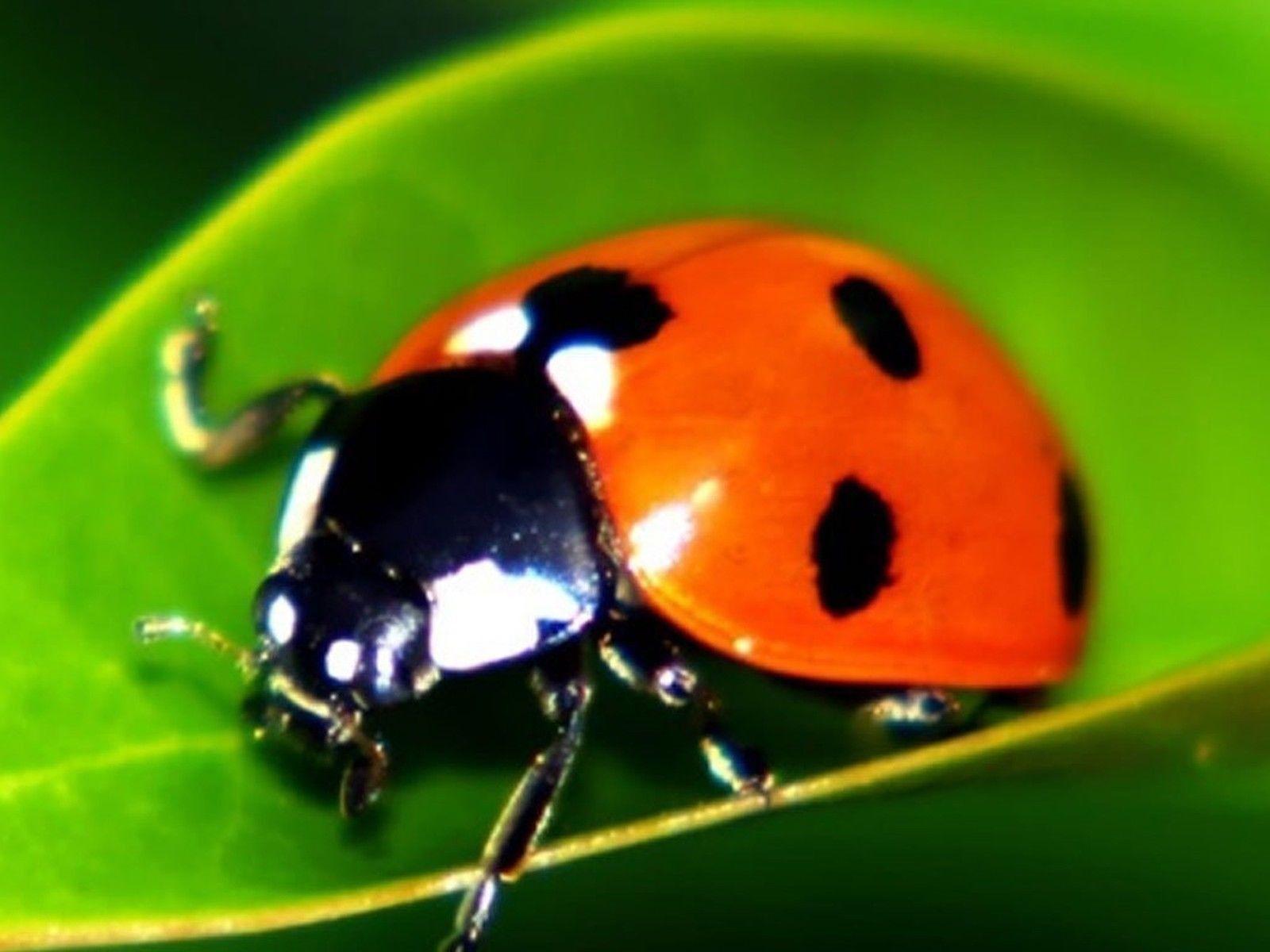 1500 Live Ladybugs - Good Bugs - Ladybugs - Guaranteed Live Delivery ...