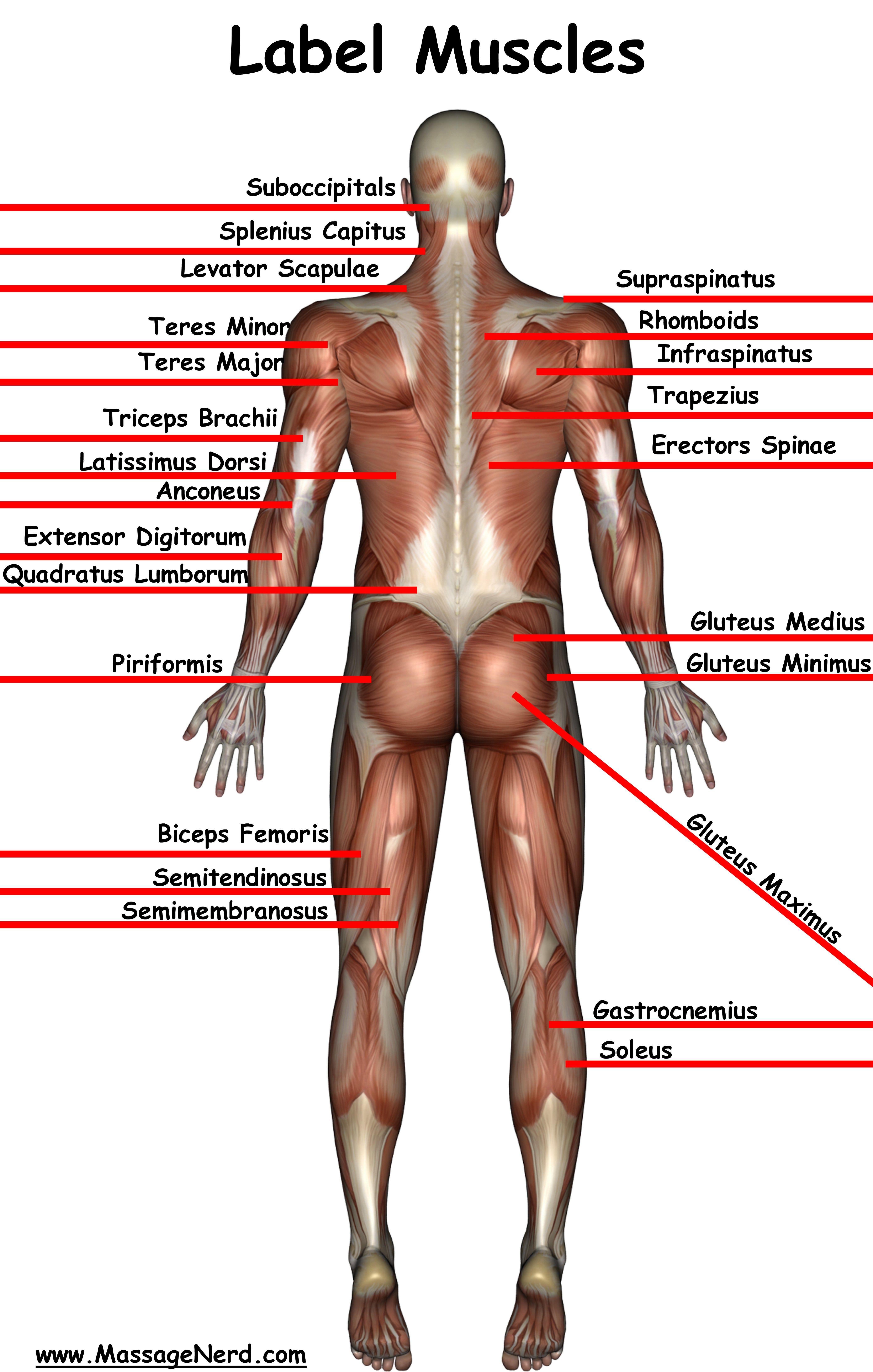 welcome to the information highway of massage therapy! massage, Muscles