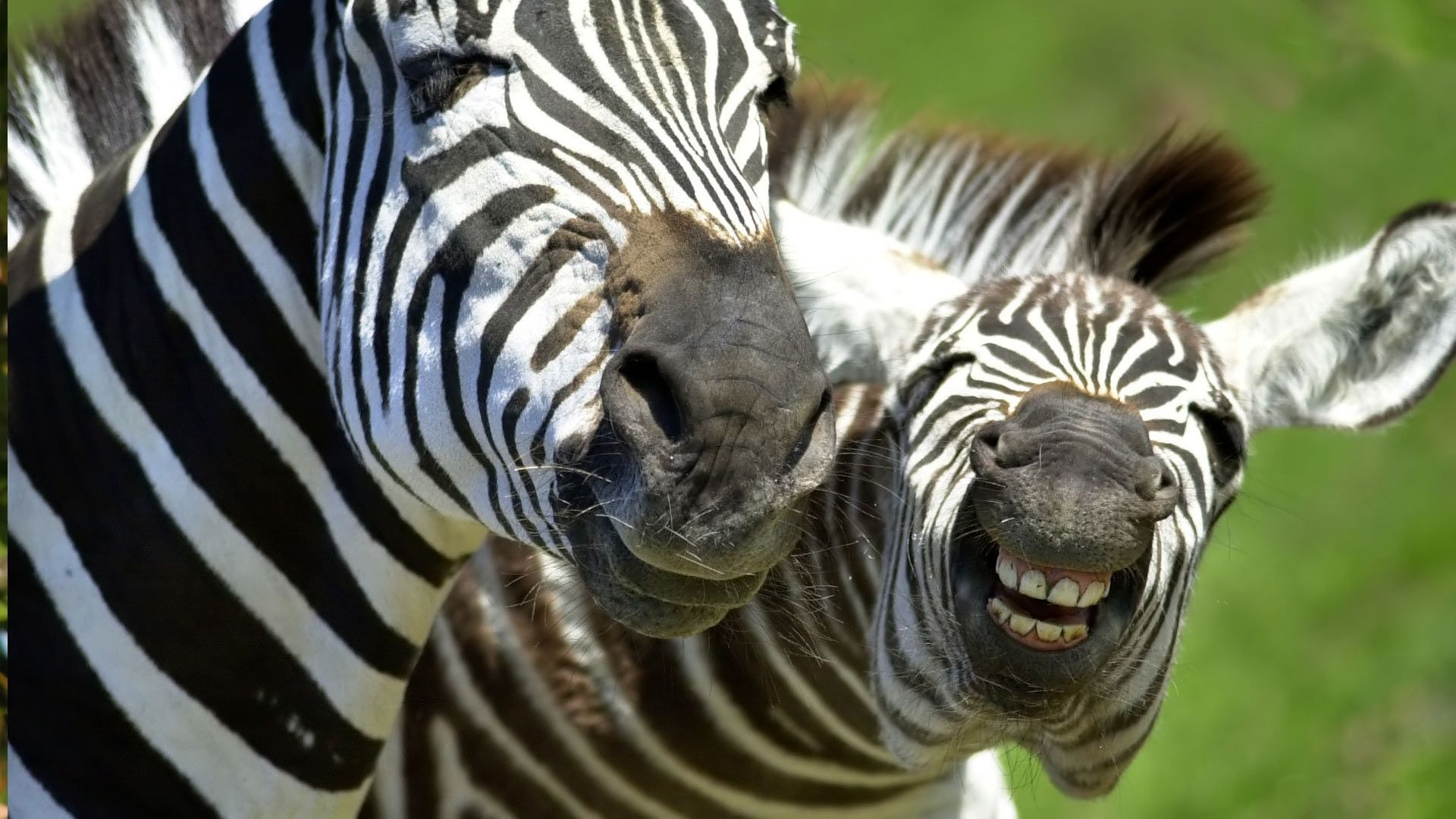 Wallpapersxl Business Cards Zebra Hd 1920x1080 Cool Pictures Of Animals Animal Wallpaper Animals Are Beautiful People