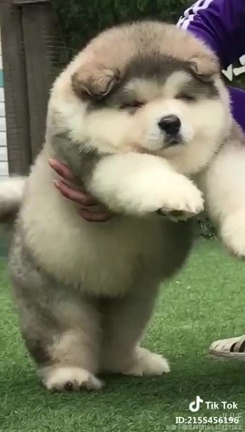 This fluffy pupper