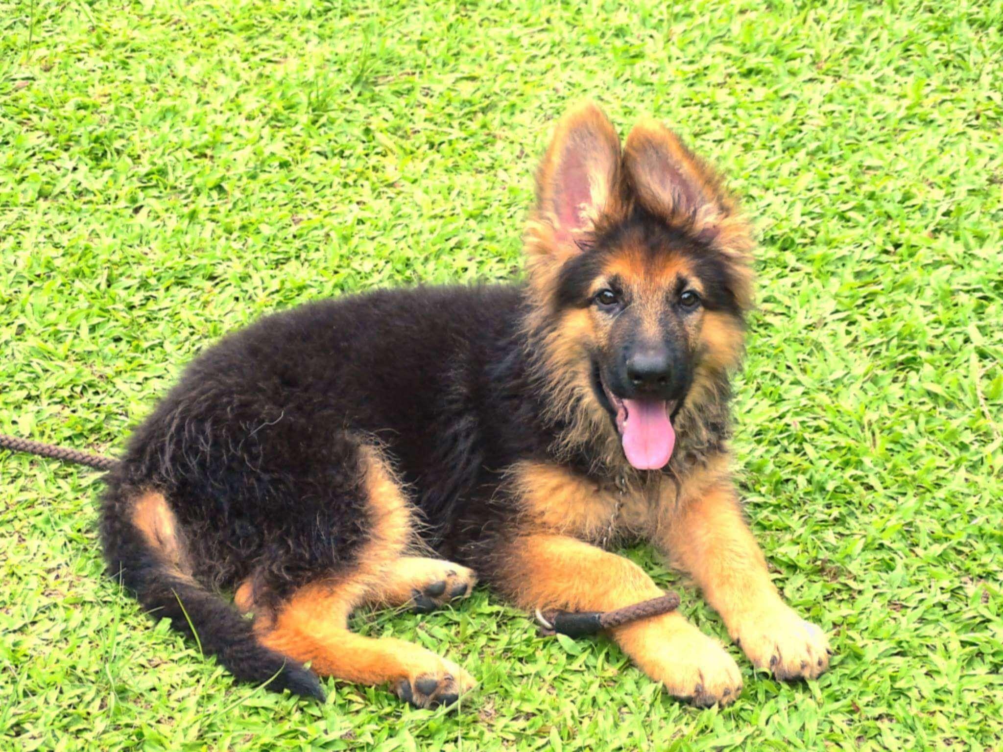 3 month old german shepherds dog breed information