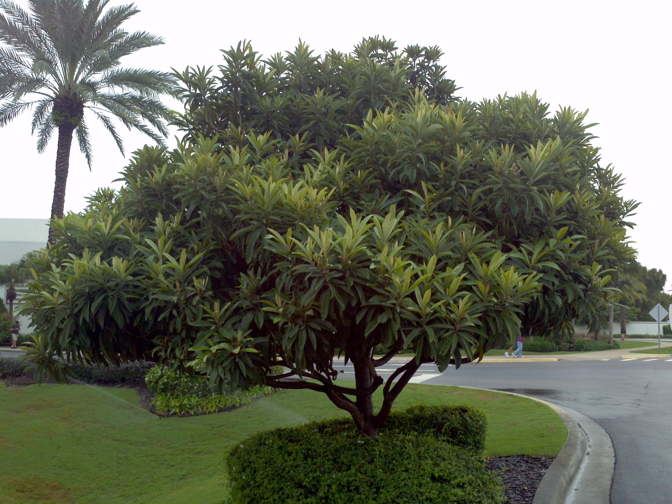 Quot Loquat Tree Quot My Grandparents Had One In Their Backyard I