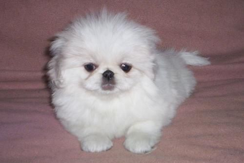 Fluffy Quality Pekingese Both 1 3 Months White Black Fawn