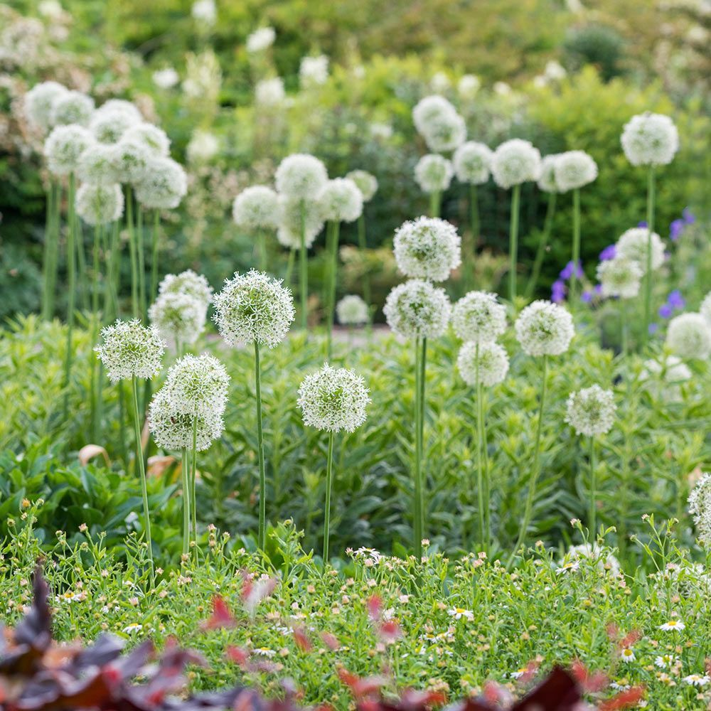 Allium Mount Everest White Flower Farm Allium Flowers Allium