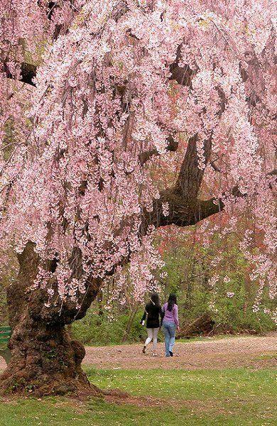Cherry Blossoms In Branch Brook Park Newark Nj Usa Public Garden Flowering Trees Pretty Trees