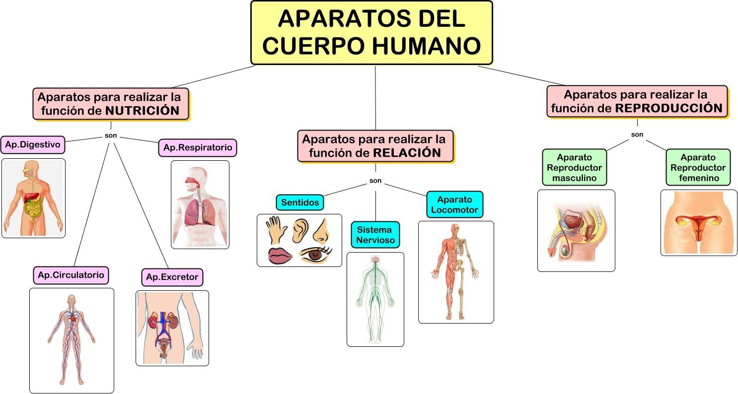 1 - LOS APARATOS DEL CUERPO HUMANO en 2020 | Aparatos del cuerpo humano, Cuerpo  humano, Organos del cuerpo humano