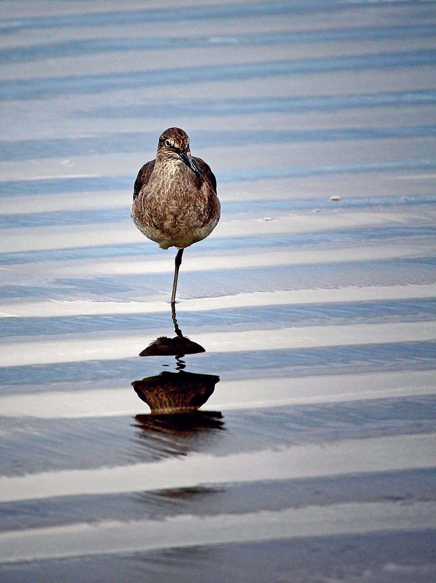 Bird Photography Of A California Sandpiper Standing On One Leg Bird Photography Sandpiper Bird Leg Photography