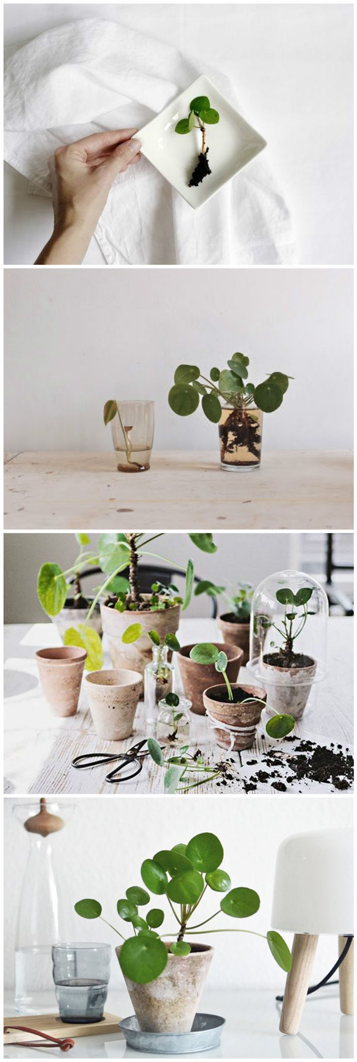 pilea peperomioides la star des plantes grasses blog. Black Bedroom Furniture Sets. Home Design Ideas