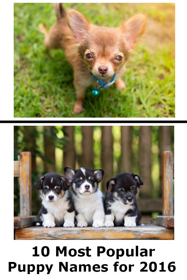 Most Popular Puppy Names Of 2016 Puppy Names Pet Holiday Puppies