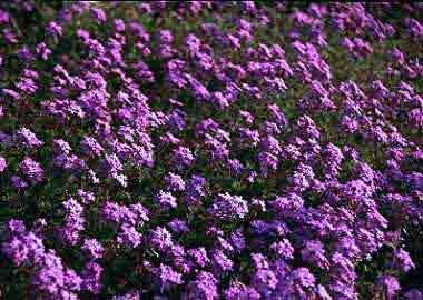 Ajuga reptans        Ajuga reptans  Clasificación científica  Reino: Plantae  Subreino: Tracheobionta  División: Magnoliophyta  Clase: Magno...