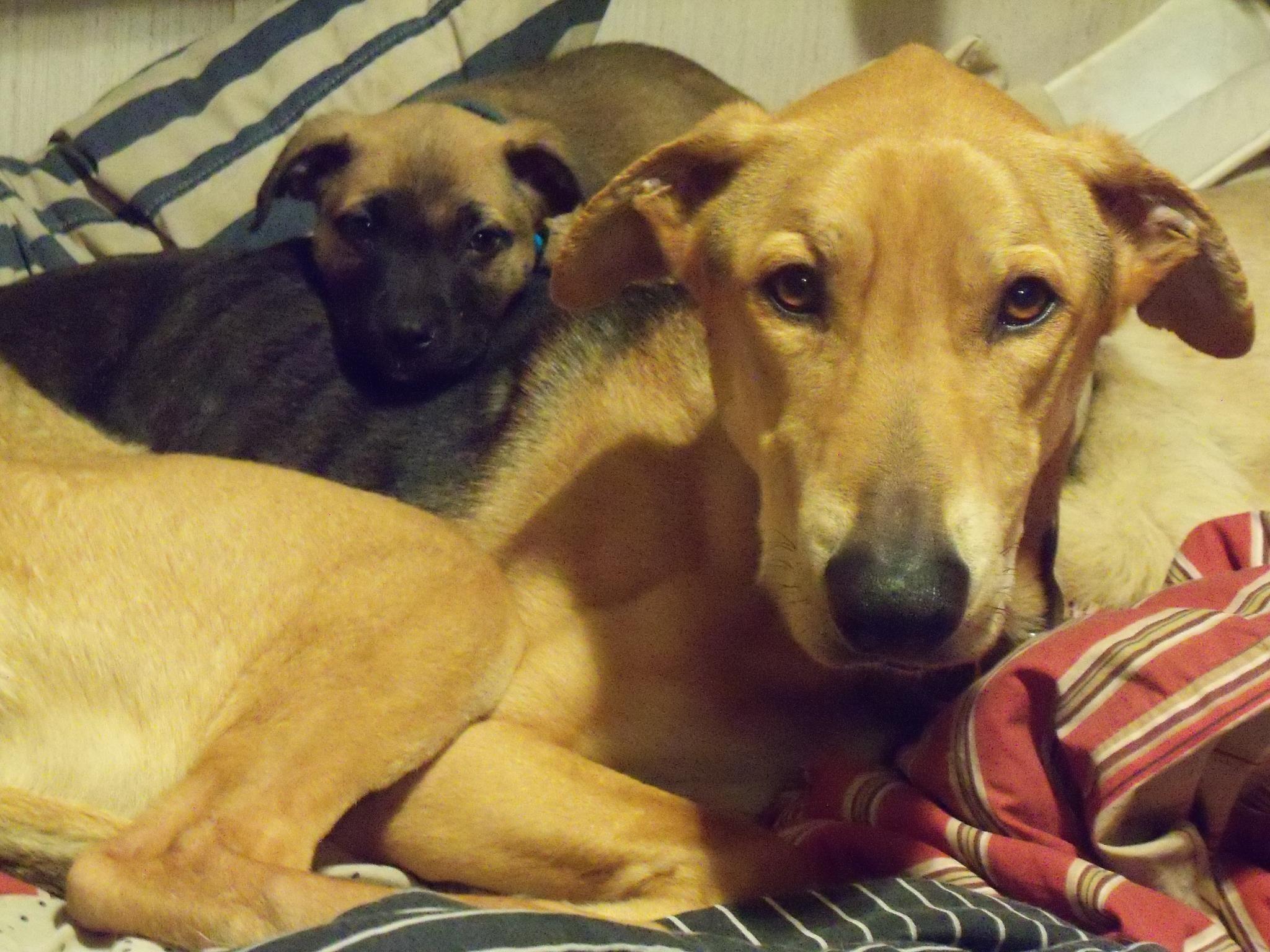 German Shepherd Greyhound Mix With German Shepherd Pug Mix Dog