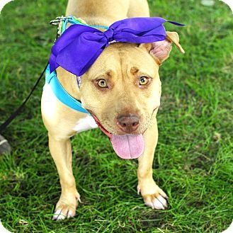 Lolly Rue Pending A American Pit Bull Terrier Pit Bull Terrier