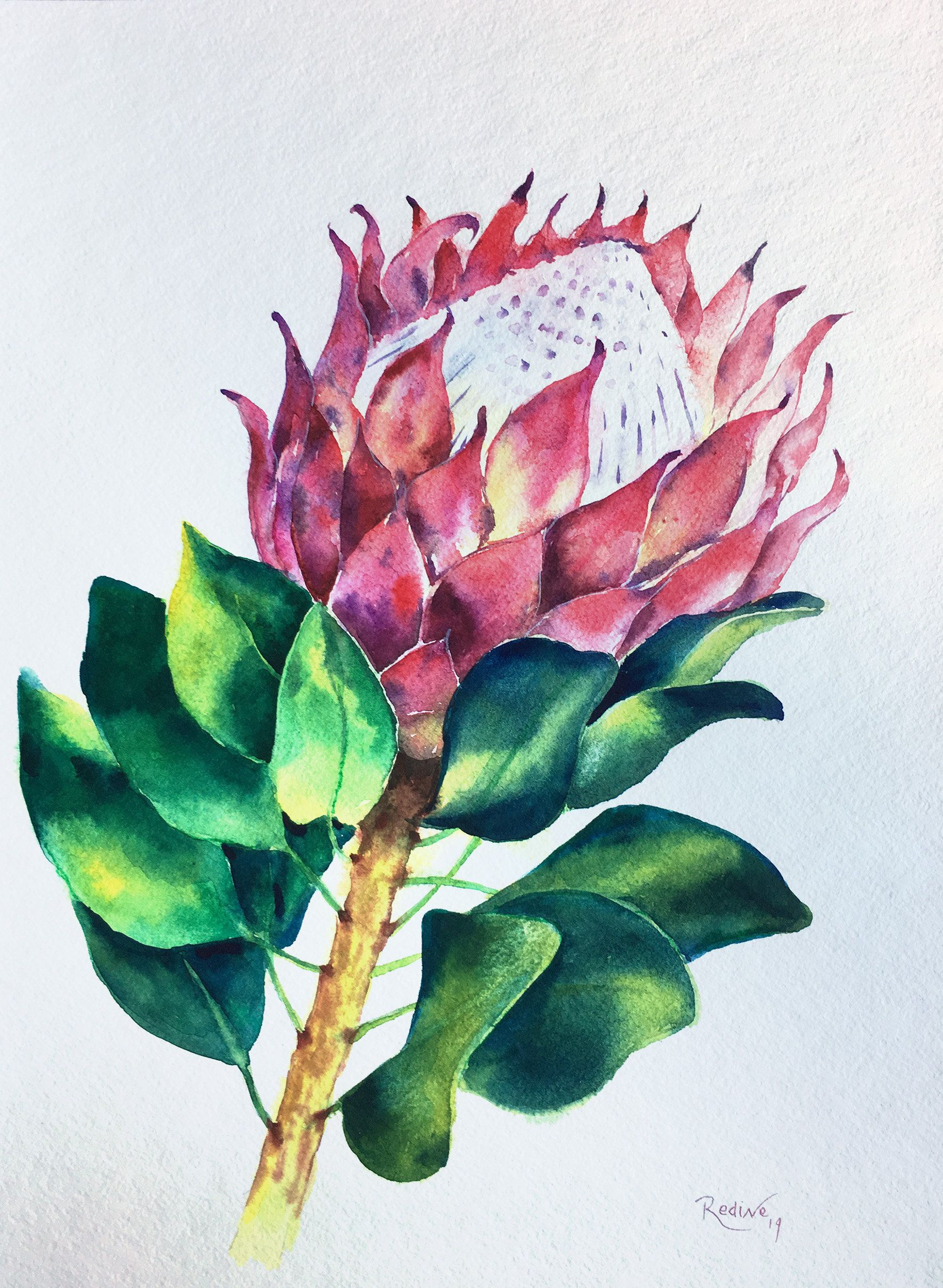 King Protea Original Watercolour Painting King Protea Flowers Watercolor One Of A Kind Framed Watercolor Framed Artwork Gift Art Framed Flower Art Flower Drawing Watercolor Flowers