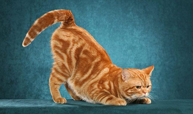 Related Image American Shorthair Cat Popular Cat Breeds Cat Breeds