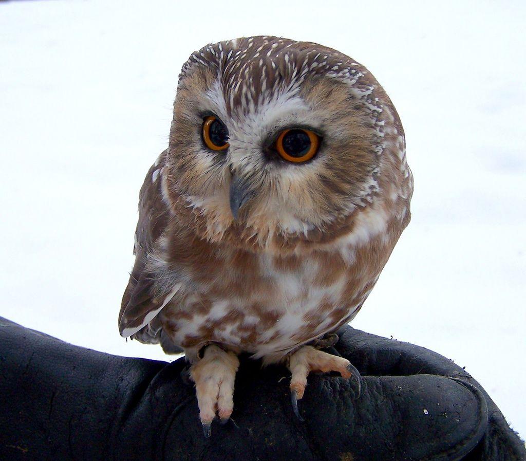 Types Of Owls In Colorado Western Screech Owl