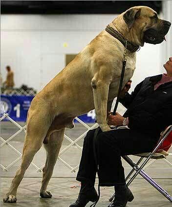Bullmastiff Dog For Sale Philippines