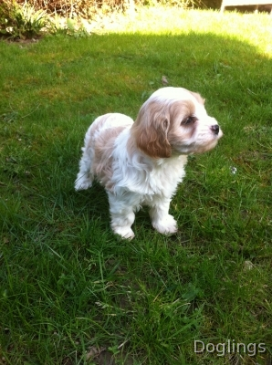 Dogs For Sale And Puppies For Sale Search And Browse Dogs For Sale In Surrey South East At The Uk Cavachon Puppies Spaniel Puppies For Sale Cavachon