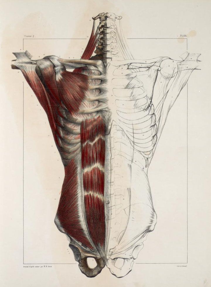 Muscles+of+the+neck%2C+thorax+and+abdomen2.jpg (720×980) | Art ...