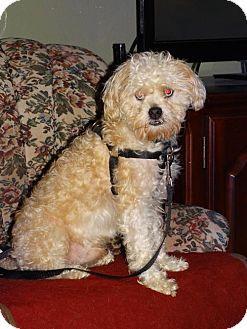 Tacoma Wa Poodle Miniature Shih Tzu Mix Meet Frank Sinatra A