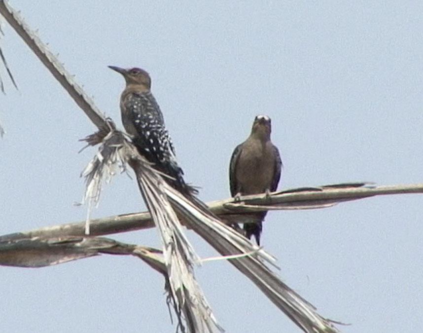 Grey-breasted Woodpecker Melanerpes hypopolius - Google Search