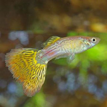 Yellow yellow snakeskin male guppy my aquarium to deep for Yellow tropical fish