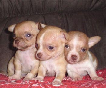 Chihuahua Puppies Chihuahua Puppies Chihuahua Breeders