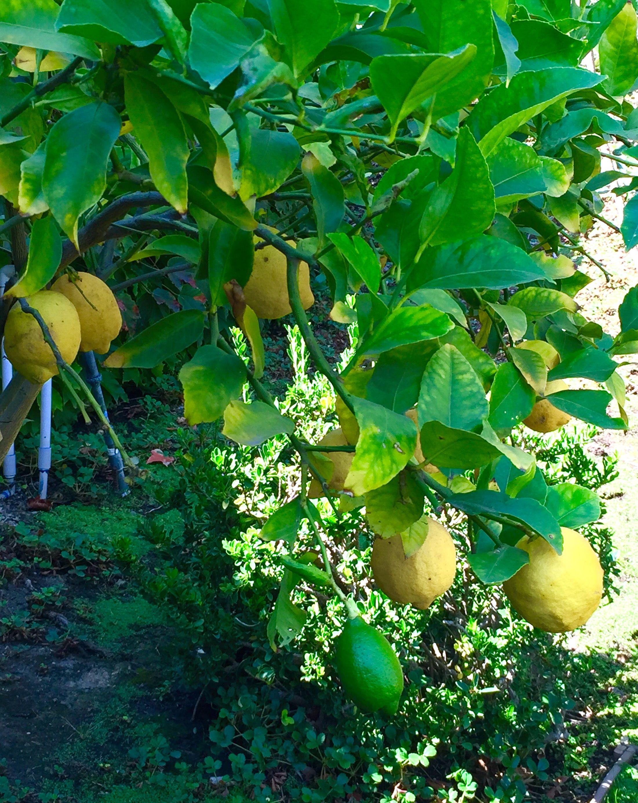 Park Art|My WordPress Blog_Raw Garden Lemon Berry Diamonds