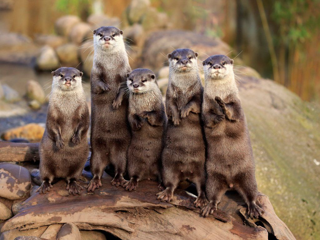 Asian Small Clawed Otters Vietnam Trip Animals Beautiful