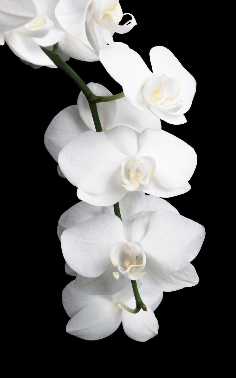 Pin By Zenology On Roses Are Roses Orchid Wallpaper Black And White Flowers Orchid Flower