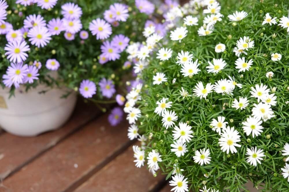 ブラキカムの花言葉や育て方まとめ 春の花壇におすすめ 花壇 枯れた花 花言葉