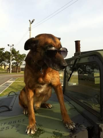 "Military Working Dog ""Rico"" patrolling the beat."