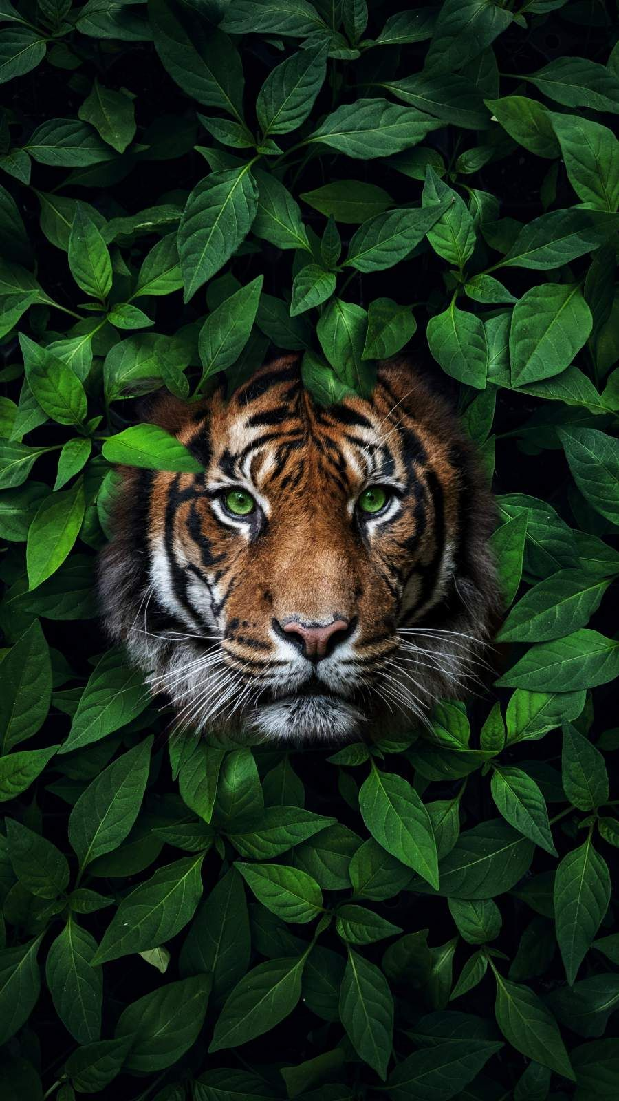 Green Eyes Tiger Iphone Wallpaper Wild Animal Wallpaper Animal