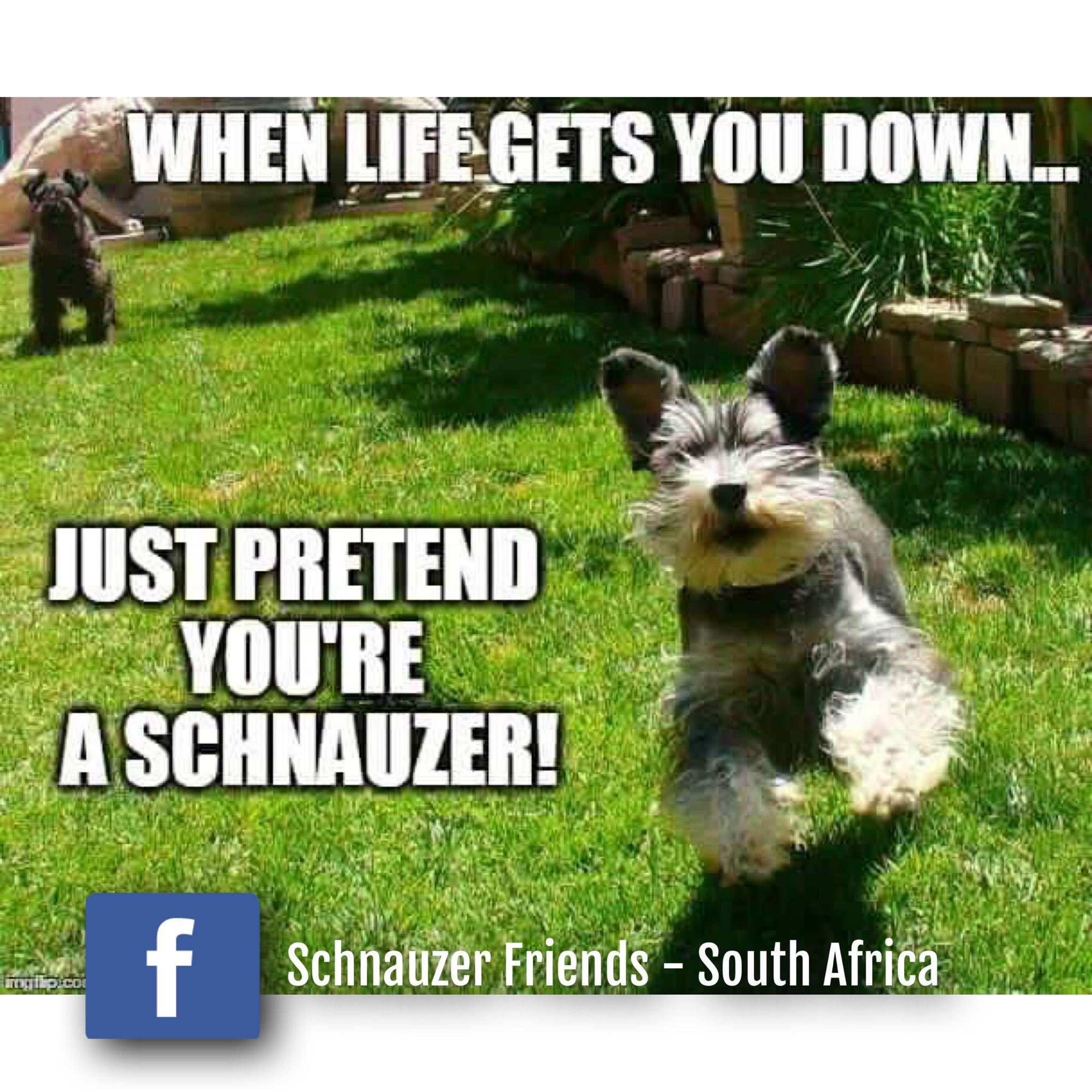 Pretend to be a Schnauzer …   doggie stuff   Schnauzer dogs
