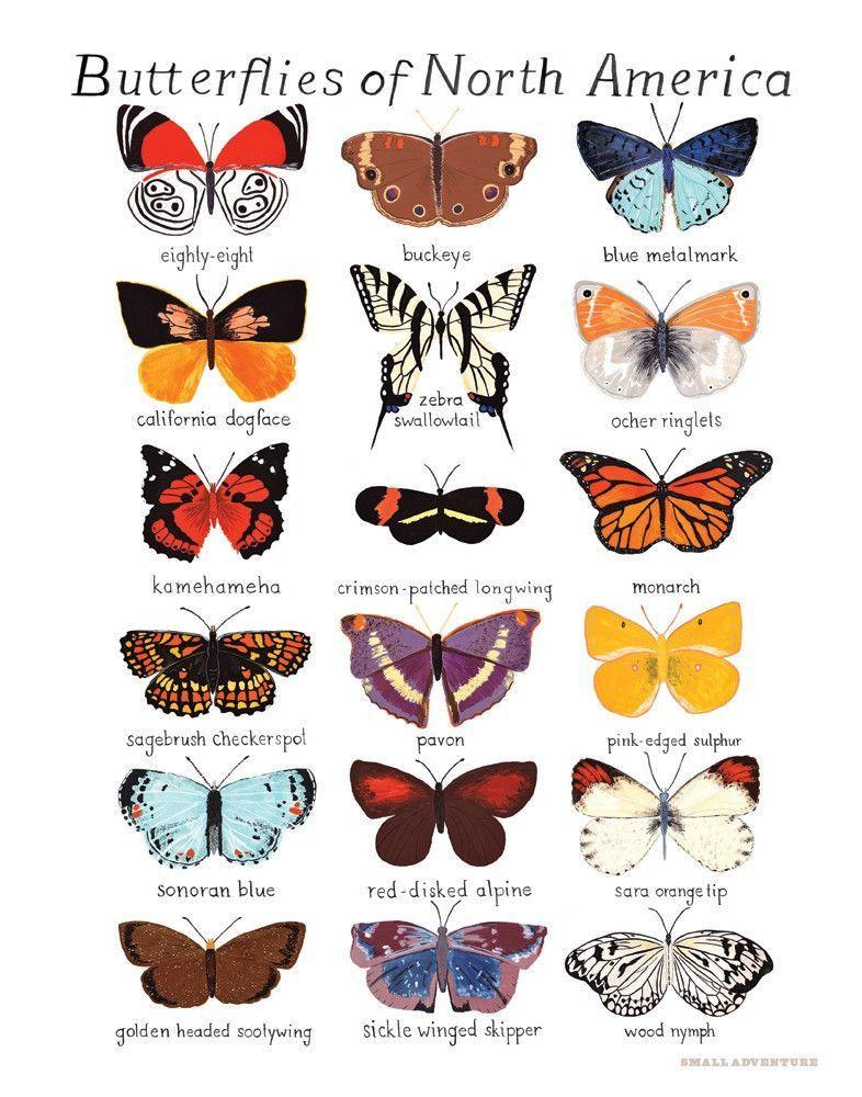 Butterflies Of North America Print Butterfly Art Butterfly